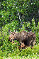 Cow moose and two spring calves forage in the tundra green grasses and willows, Denali National Park, Alaska