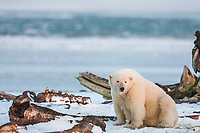 Female polar bear at the bone pile of bowhead whale carcasses hunted by the Inupiat village of Kaktovik, along the  Beaufort Sea, arctic, Alaska.