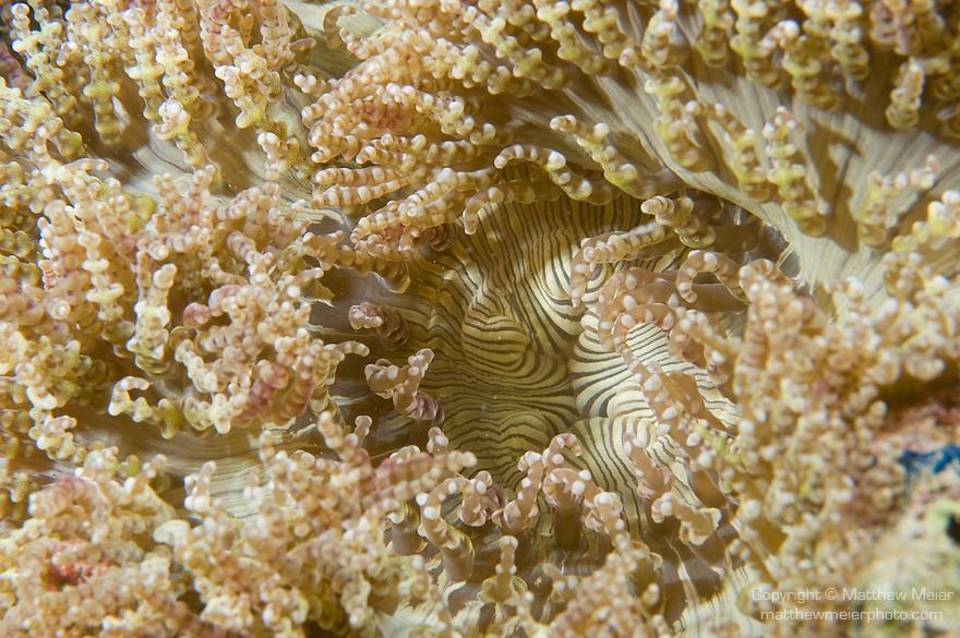 Anilao, Philippines; a light green and tan Beaded Sea Anemone (Heteractis aurora)