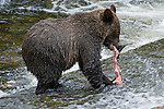 Young grizzly bear cub skinning the salmon and eating the fish after it was caught by the female bear