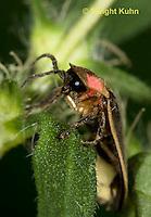 1C24-679z  Pyralis Firefly - Lightning Bug - Male - Photinus spp.