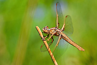 389310015 a wild female flame skimmer libellula saturata perches on a dead twig in fish slough mono county callifornia