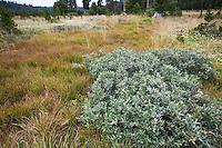 Salix orestera - gray-leafed Sierra Willow in Sierra Nevada mountain meadow