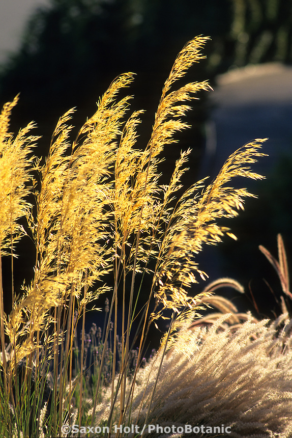 Flowering stalk of Stipa gigantea (back-lit)