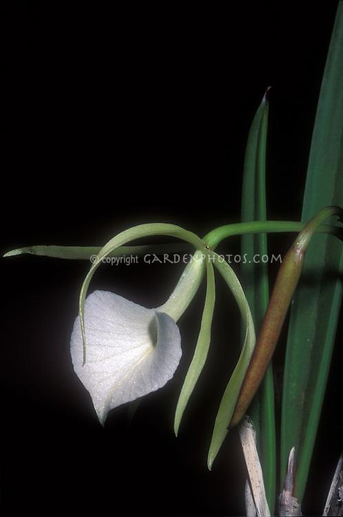 Brassavola nodosa Orchid Species Lady of the Night