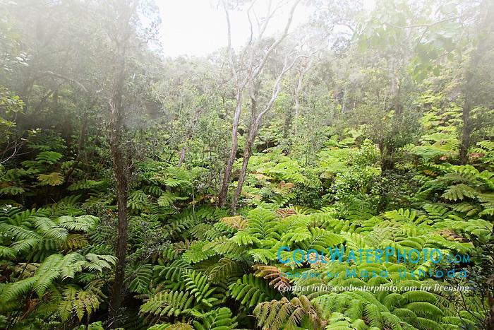 Hapu`u Pulu or Fern Tree, Cibotium glaucum, and `Ohi`a Lehuna, Metrosideros polymorpha, tropical rainforest, Hawaii Volcanoes National Park, Kilauea, Big Island, Hawaii