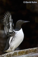0727-1004  Common Murre (Common Guillemot) Spreading its Wings, North American Seabird, Uria aalge  © David Kuhn/Dwight Kuhn Photography