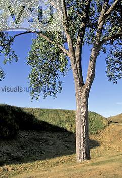 Eastern Cottonwood tree (Populus deltoides), North America.
