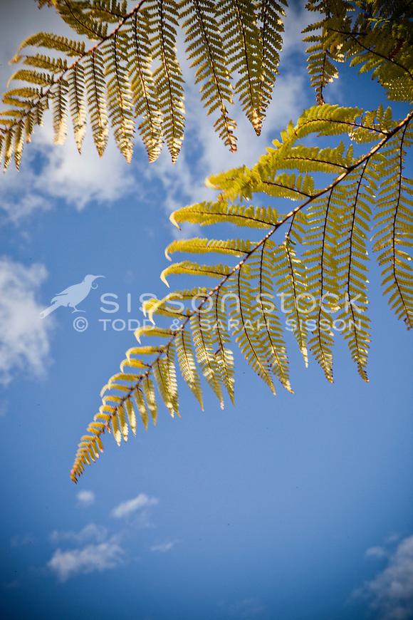 Fern frond against a blue sky, New Zealand - stock photo, canvas, fine art print