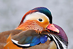 Aix galericulata, Anatidae, animalia, Aves, Ente, Enten, Entenvögel, Fauna, Lebewesen, Mandarin-Ente, Mandarin-Enten, Mandarinente, Mandarinenten, Tier, Tierbild, Tierbilder, Tiere, Vertebrata, Warmblüter, Wasservögel, Wirbeltier, Wirbeltiere, animal, animals, Antidae, bird, birds, duck, duck bird, duck birds, ducks, living being, Mandarin, Mandarin duck, Mandarin ducks, vertebrate, vertebrates, warm blooded animals, warm blooded-animal, waterfowl, waterfowls, Entenvoegel, Mandarin Ente, Natur, Wasservoegel, 7/4-027, nature, wildlife