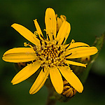 A close-up of a yellow flower.
