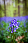 Bluebell season in the Bois de Hal, Belgium