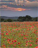 I had just about given up on sunrise over this field of firewheels in the Texas Hill Country, but as I was preparing to leave these wildflowers, the sun began to break through the cloud bank and offered a nice and colorful start to the day.