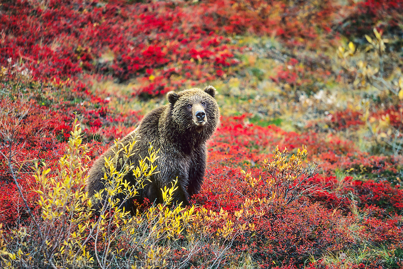 Female grizzly bear in autumn blueberry patch in Denali National Park, Alaska