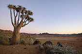 Quiver Tree (Aloe dichotoma), Richtersveld, South Africa