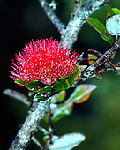 A close-up of a red 'ohia lehua blossom growing in a rain-misted rainforest, 4,000-ft. elevation, Volcano, island of Hawai'i.