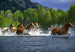 Horses running through a river in Washington.