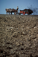 Amish farmer fertilizing fields with team of mules.