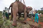 Wild elephant bull, Loxodonta africana, hoisted into position by crane for vasectomy operation in bush by the Elephant Population Management Program team. Private game reserve in Limpopo, South Africa