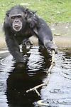 Foto: VidiPhoto<br /> <br /> ARNHEM - De chimpansees van Burgers' Zoo in Arnhem hengelen vrijdag met stokken naar bananen aan een waslijn en naar appels in het water. De wereldberoemde dieren hebben de smaak te pakken, nadat chimpanseevrouwtje Tushi (23) deze week met een stok een drone uit de lucht sloeg. Het filmpje staat op honderden websites van nieuwsmedia wereldwijd, inclusief CNN en NBC, en is inmiddels tientallen miljoenen keren bekeken. Alleen al op het YouTube-kanaal van Burgers' Zoo zelf zijn er 2,3 miljoen views. Nog dagelijks wordt de Arnhemse dierentuin platgebeld door media die willen weten over het hoe en waarom van de drone tussen de chimpansees. Volgens woordverder Bas Lukkenaar van Burgers' was het doel niets anders dan luchtopnamen maken van de dieren voor de real life docusoap die RLT4 wekelijks uitzendt. Vier chimpansees hadden een stok in hun hand om de indringer uit de lucht te meppen, mede uit nieuwsgierigheid. Tushi lukt het het, waarna de apen de drone van 2000 euro compleet vernielden. De camera bleef echter lopen, met unieke selfies van de chimps als gevolg. De volgende dag werd het filmpje online gezet, waarmee de dieren plotseling wereldnieuws werden. Nog niet eerder kreeg het dierenpark zoveel publiciteit. Volgens Lukkenaar wijst de 'geco&ouml;rdineerde' actie van de mensapen tegen de drone op een hoge mate van intelligentie. Zo gebruiken ze ook stokken als werktuigen om voedsel dat op een onbereikbare plek ligt, naar zich toe te halen. &quot;Moraal van dit verhaal: apen draaien mensen een loer.&quot;