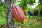Maturing cocoa seed pod hangs from a cacao tree in the coastal Caribbean town of Cahuita, Costa Rica.  Cocoa or cacao is the basis of chocolate.