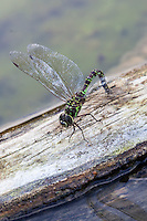 Blue-eyed Darner dragonfly on a log. (Aeschna multicolor)