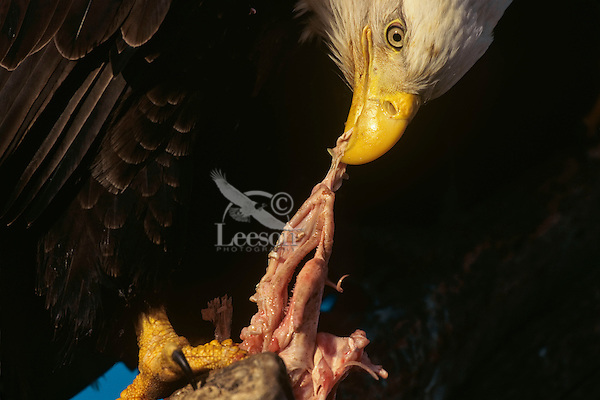 Bald eagle (Haliaeetus leucocephalus) eating a piece of fish.