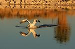 White pelican and grebe at the Salton Sea