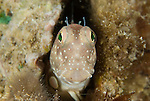 Blenny peeping out of a worm hole in the reef