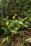 Group of glacier lilies growing in the moist forest in northern Idaho