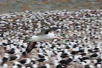 Black-browed albatross in flight, Steeple Jason Island in the Falklands.