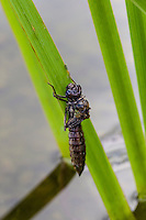 Emerging Blue-eyed Darner dragonfly from late instar larval nymph stage (Aeschna multicolor).
