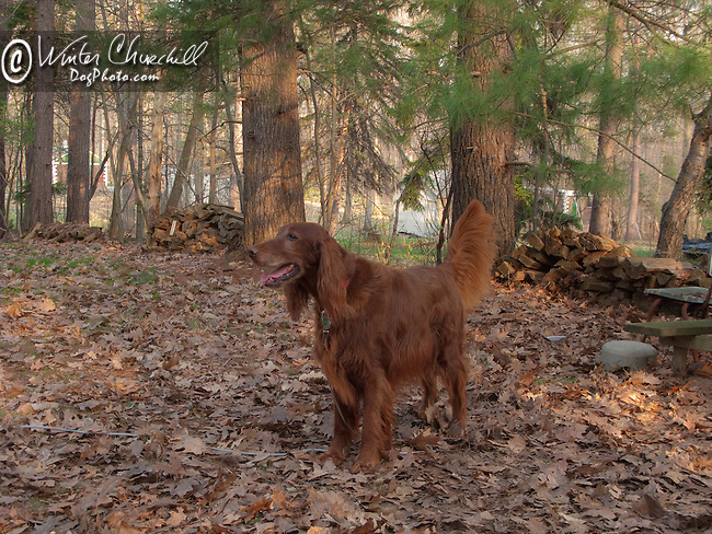 Irish Setter, the playful friendly companion who somehow always looks elegant. Shopping cart has 3 Tabs:<br /> <br /> 1) Rights-Managed downloads for Commercial Use<br /> <br /> 2) Print sizes from wallet to 20x30<br /> <br /> 3) Merchandise items like T-shirts and refrigerator magnets