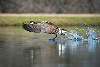 Canada Goose taking off