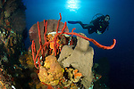 An onlooking diver views various species of sponge (including row pore rope sponge: Alysina cauliformis) and coral in St. Lucia