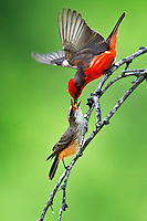 Vermilion Flycatcher feeding mate