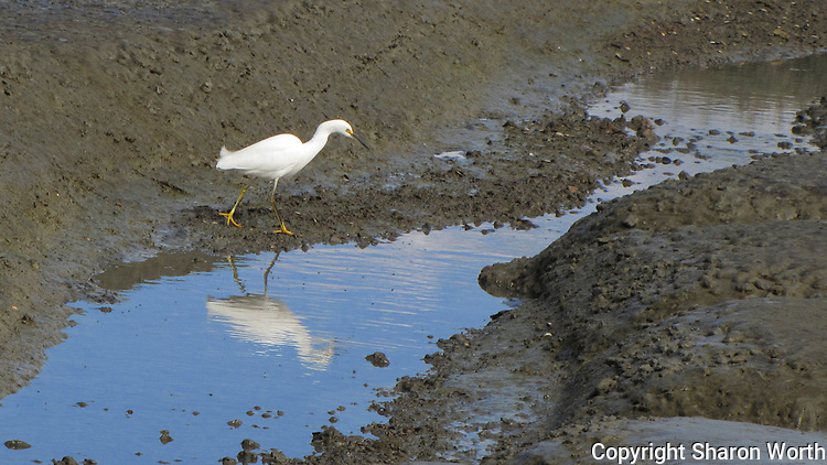 A Snowy egret and its rippled reflection at the Hayward Marsh near the Hayward Shoreline Interpretive Center.