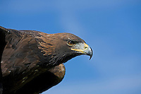 Golden Eagle head (Aquila chrysaetos)