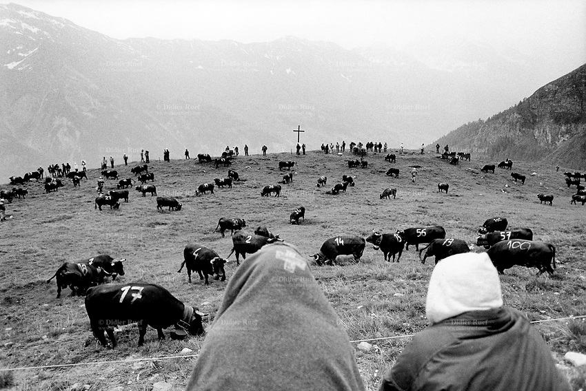 """Switzerland. Canton Valais. Hèrens valley. Chemeuille. 1800 meters high. The Herens cattle is well known for the high aggression potential of its females. In spring, cows and heifers are made to fight one against another in the local tradition of """"cow fighting"""". The Herens Cattle is one of the smallest cattle breeds. Their fur is dark red to brown or black. A distinguishing feature is the short and broad head, with a concave front line. The animals are very muscular, with sporting strong horns. Season spent by the cows in mountain pastures. Swiss alpine farmers. Alps mountains peasants. Swiss flag. Catholic Holy Cross. © 1994 Didier Ruef"""