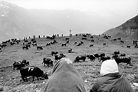 "Switzerland. Canton Valais. Hèrens valley. Chemeuille. 1800 meters high. The Herens cattle is well known for the high aggression potential of its females. In spring, cows and heifers are made to fight one against another in the local tradition of ""cow fighting"". The Herens Cattle is one of the smallest cattle breeds. Their fur is dark red to brown or black. A distinguishing feature is the short and broad head, with a concave front line. The animals are very muscular, with sporting strong horns. Season spent by the cows in mountain pastures. Swiss alpine farmers. Alps mountains peasants. Swiss flag. Catholic Holy Cross. © 1994 Didier Ruef"