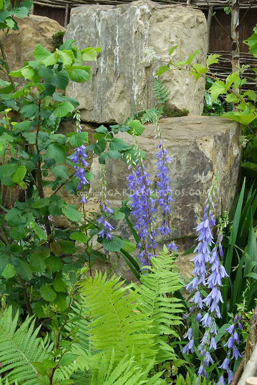 Shade garden | Campanula latifolia, ferns, rock boulders, viburnum