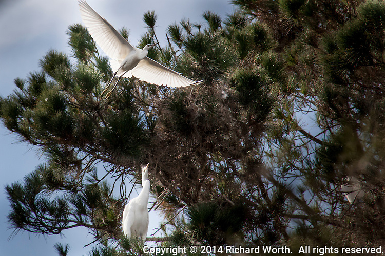 A Great egret looks on as a Snowy egret flies into a nesting tree.
