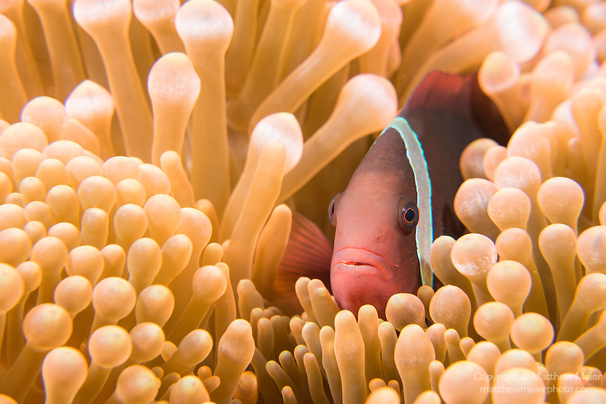 Anda, Bohol, Philippines; a female Tomato Anemonefish hiding amongst a bubble-tip anemone