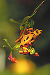 Golden Frogs are found only in the Pacific lowland forests of Panama, the golden frog has skin toxins that may cause hypertension, hallucinations or paralysis. Predators quickly learn to associate the colors with an unpleasant experience and avoid contact with the diminutive creatures.