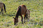 A young foal nuzzles its mother among the wildflowers in the Pryor Mountains, Montana.