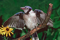 Fledgling Blue Jay, Cyanocitta cristata, flapping its wings on a branch
