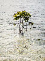 Mangrove at the beach of Arborek, Raja Ampat, West Papua, Indonesia