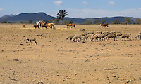 Drought affected stock, Western Victoria..<br />