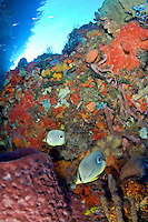 Coral Reef Scenic with Foureyed butterflyfish<br /> Fish Mouth<br /> Grenadines