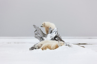 Polar bear sow with two cubs of the year finds wind protection to rest behind a piece of driftwood on a barrier island in the Beaufort Sea, arctic, Alaska.